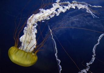 a sea nettle
