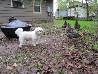 Macy and Chickens