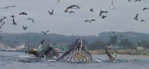 Migrating grey whales off of the coast of Santa Cruz and Monterey, Calif.